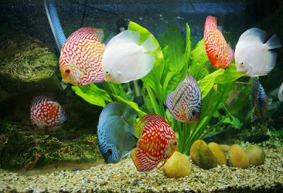 Phong thủy và nghệ thuật nuôi cá cảnh