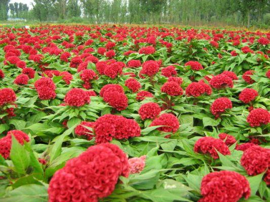 Chọn hoa gì trong phòng làm việc để khai vận?